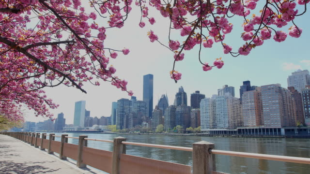 tu camera captures row of cherry blossoms trees and manhattan skyscrapers at promenade beside east river at roosevelt island. - promenade stock videos & royalty-free footage