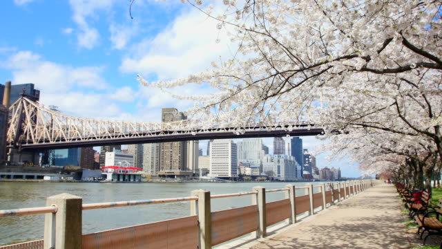 td camera captures row of cherry blossoms trees and queensboro bridge and manhattan skyscrapers at promenade beside east river at roosevelt island. - promenade stock videos & royalty-free footage