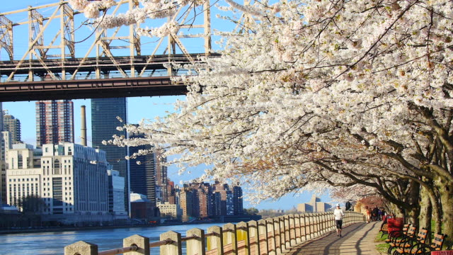 tu camera captures row of cherry blossoms trees and queensboro bridge and manhattan skyscrapers at promenade beside east river at roosevelt island.a woman runs under the row of cherry blossoms trees.a man walks with dog at promenade. - river east stock videos & royalty-free footage