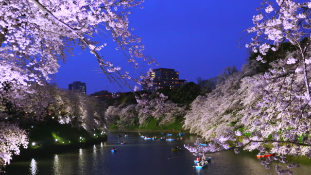 Camera captures rows of Cherry blossoms trees along both side of moat, which surround the Chidorigafuchi Moat of The Imperial Palace at dusk.Cherry blossoms and rowboats on the moat are illuminated by Light up.
