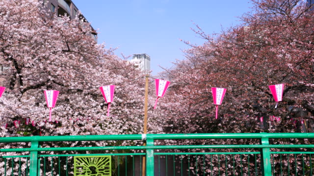 camera captures rows of cherry blossoms trees along the both riverbank from the green bridge of meguro river.many paper lanterns hang at over the bridge-rail. - kanto region stock videos and b-roll footage