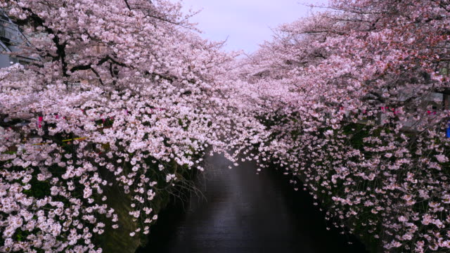 camera captures rows of cherry blossoms trees along the both riverbank, which surround the meguro river. - ワイドショット点の映像素材/bロール