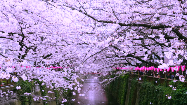 camera captures rows of cherry blossoms trees along the both riverbank, which surround the meguro river.wind shakes the cherry blossoms and paper lanterns along the both riverbank. - ワイドショット点の映像素材/bロール