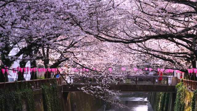 Camera captures rows of Cherry blossoms trees along the both riverbank, which surround the Meguro River in the morning.Morning sunlight illuminates river and Cherry blossoms.Many Paper Lanterns hang at the both side of riverbank.