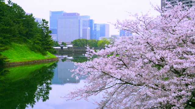 camera captures sakuradamon gate and marunouchi business district beyond cherry blossoms. imperial palace forest and marunouchi  skyscrapers reflect to moat. - moat stock videos and b-roll footage