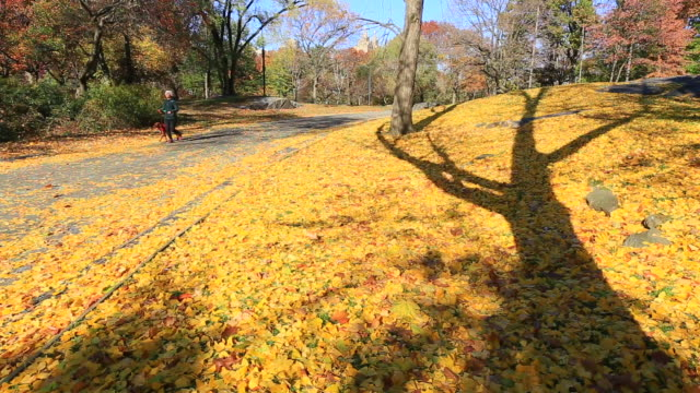 stockvideo's en b-roll-footage met camera captures the fallen autumn color leaves and jogger at central park. - tuinpad