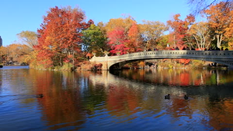 vidéos et rushes de camera captures the swimming ducks and reflections of people on the bow bridge and autumn color trees in the lake. - petit groupe d'animaux