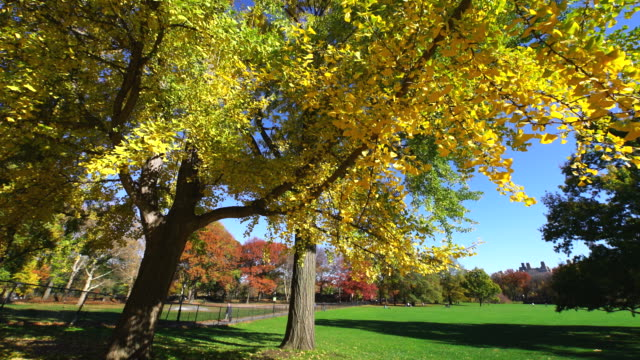 TU Camera captures two autumnal color ginkgo trees at Sheep Meadow.