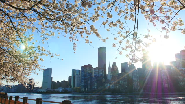 camera captures waving cherry blossoms which are illuminated by sunset at promenade beside east river at roosevelt island.the sunset  to between manhattan skyscrapers. - fragility stock videos & royalty-free footage