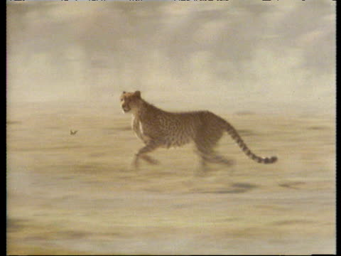 Camera follows cheetah in pursuit of and attacking a wildebeest.