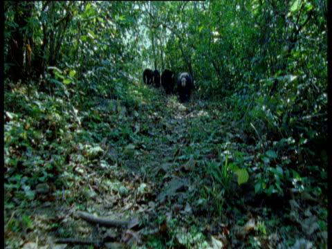 camera follows gang of male chimps on forest trail, gombe national park, tanzania - common chimpanzee stock videos & royalty-free footage