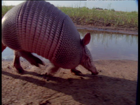Camera follows Nine-banded armadillo as it walks along, South America