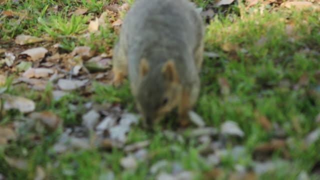 Camera Follows Squirrel Along The Ground, Squirrel Pauses To Eat Nut