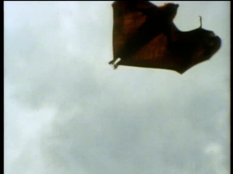 Camera looks up at a fruit bat flying across the sky.