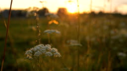 camera movement among tall grass at sunset, insects fly out of grass