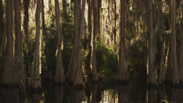 camera moves along a dense grove of cypress trees in a swampy wetland with spanish moss in the foreground. - spanish moss stock videos & royalty-free footage