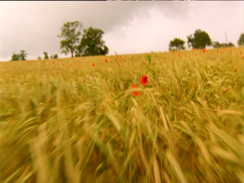 Camera moves randomly through wheat field with red poppies dotted through out tilt up to grey sky