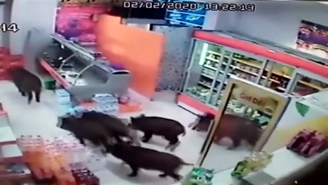 stockvideo's en b-roll-footage met camera of a local market shows six pigs running into the market and moving around until a man arrives and scares them away. the pigs were probably... - varken