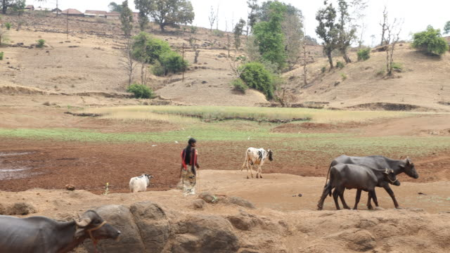 a camera pan to the right showing a girl shepherd and cattle within rural landscape in nashik a region located in the northwestern part of the... - shepherd stock videos & royalty-free footage
