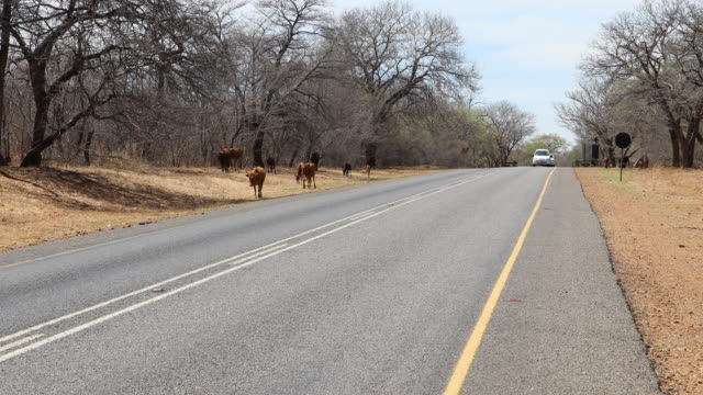 a camera pan to the right showing cattle at the side of the road to victoria falls a large waterfall on the zambezi river at the border of zambia and... - victoria falls stock videos and b-roll footage