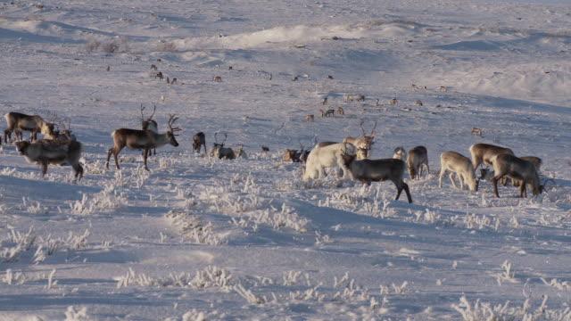 camera pans across large spread out heard of reindeer (rangifer tarandus). snow and ice cover the ground. northern norway - vaja bildbanksvideor och videomaterial från bakom kulisserna