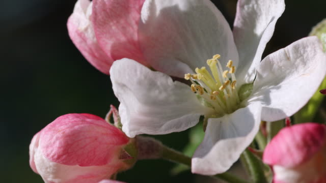 camera pans right onto apple blossom - orchard stock videos & royalty-free footage