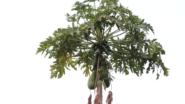 A camera tilt down showing the top of a papaya tree with ripen fruits in a rural area in western India