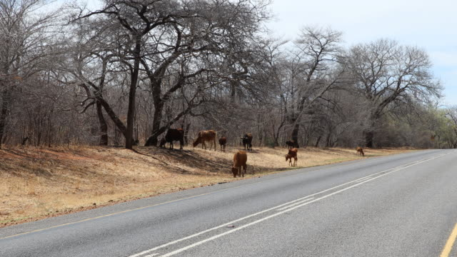 a camera tilt up showing cattle at the side of the road to victoria falls a large waterfall on the zambezi river at the border of zambia and zimbabwe... - 景勝地点の映像素材/bロール