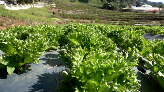 camera tracking slowmotion in vegetable farm - botany stock videos & royalty-free footage