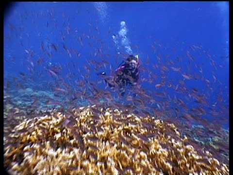 ms camera tracks forward through shoal of anthias fish to diver waving to camera, sabah, borneo, malaysia - tauchgerät stock-videos und b-roll-filmmaterial