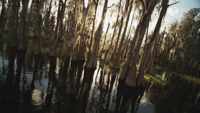 camera tracks on the water with sun refractions through a grove of cypress trees and spanish moss in a swampy wetland. - spanish moss stock videos & royalty-free footage