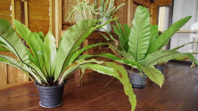 熱帯鳥の巣シダ観植木のカメラトランジションドリー - 観葉植物点の映像素材/bロール