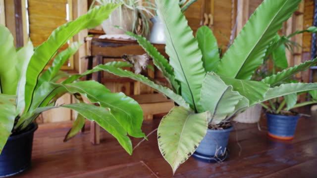 熱帯鳥の巣シダ観植木の左から右へのカメラトランジションパン - 観葉植物点の映像素材/bロール