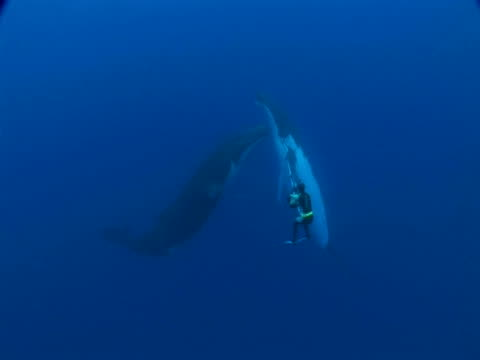 Cameraman filming Humpback Whale (Megaptera novaeangliae) Mother and Calf, Toku, Tonga