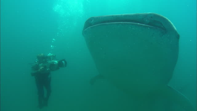 Cameraman films, Whale shark, pass by camera, Mozambique