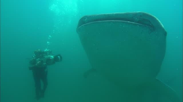 cameraman films, whale shark, pass by camera, mozambique  - walhai stock-videos und b-roll-filmmaterial