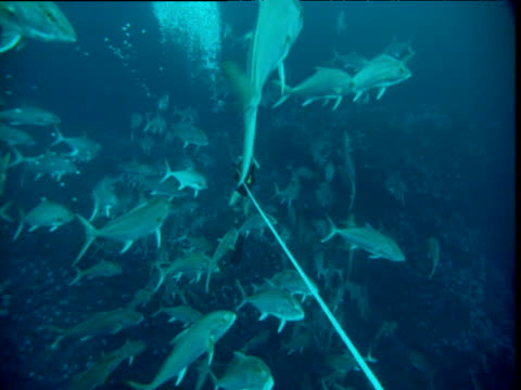 Cameraman surrounded by Greater Amberjacks (Seriola dumerili), Panama