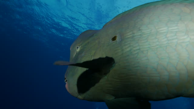 cameraman swimming close to bumphead parrotfish undersea, bali, indonesia (4k) - humphead wrasse stock videos & royalty-free footage