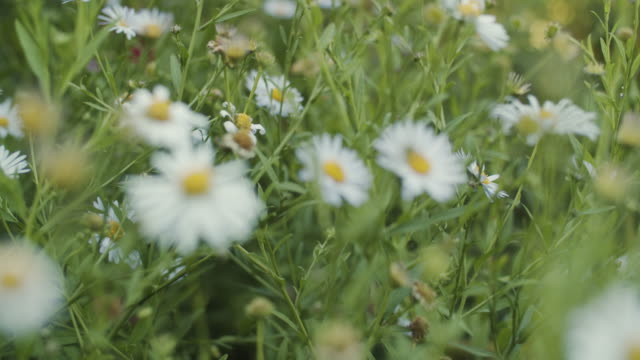 vídeos de stock, filmes e b-roll de campo de flores de camomila - foco difuso