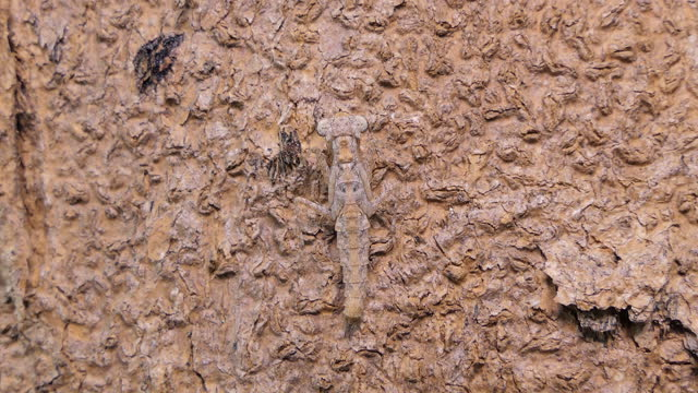 camouflage of grasshopper larvae on tree. - camouflage stock videos & royalty-free footage
