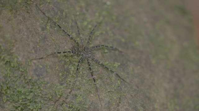 CU Camouflage spider on rock / Barro Colorado Island, Panama