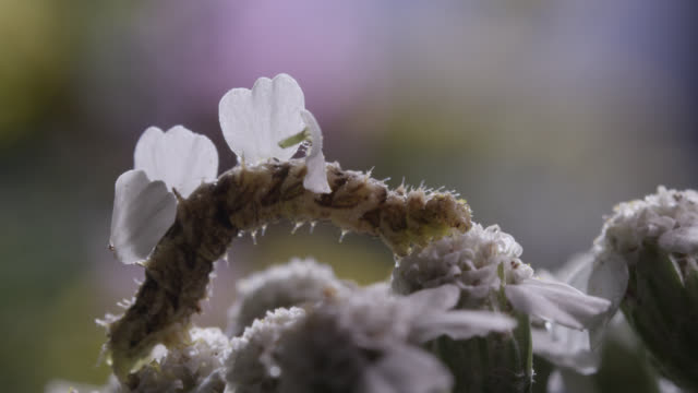 vidéos et rushes de camouflaged caterpillar with attached petals - camouflage