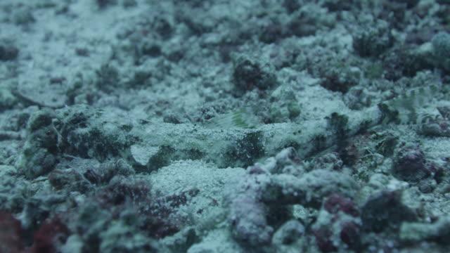 camouflaged fish lies on sea floor - lizardfish stock videos & royalty-free footage