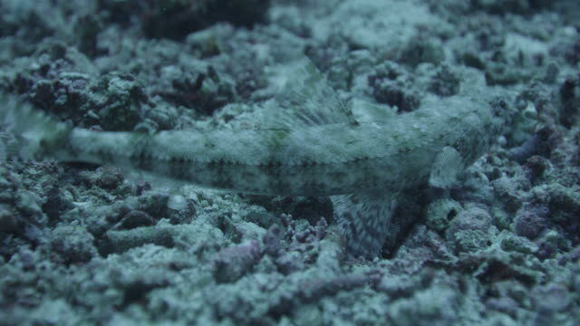 camouflaged fish moves - lizardfish stock videos & royalty-free footage