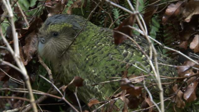 vidéos et rushes de camouflaged kakapo (strigops habroptilus) in undergrowth, codfish island, new zealand - camouflage