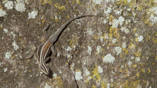 vídeos de stock e filmes b-roll de camouflaged lizard (tropidurus helenae) on rock. - camuflagem padrão