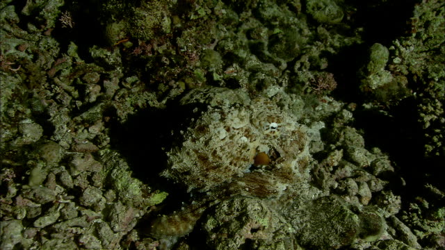camouflaged octopus (octopodidae) clambers on coral reef at night, new caledonia - camouflage stock videos & royalty-free footage