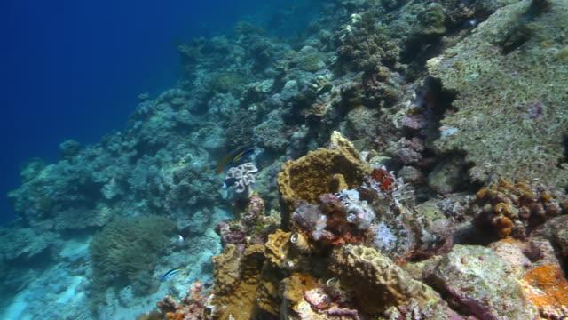 MS Camouflaged scorpionfish swims away / Layang Layang, Sabah, Malaysia