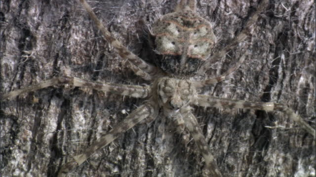 Camouflaged spider on tree bark, Tanzania