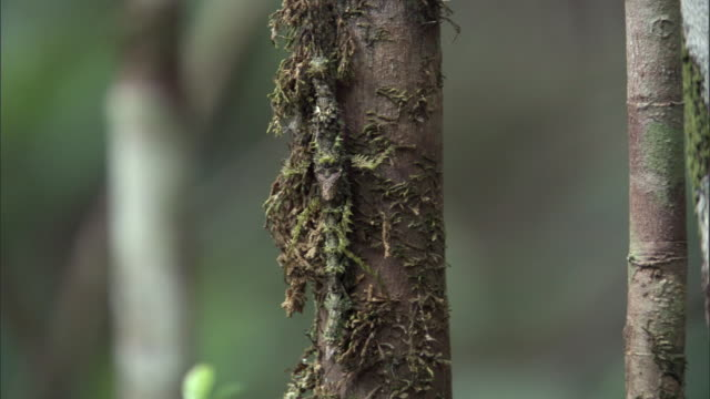 camouflaged stick insect (phasmida) on tree in forest, madagascar - disguise stock videos & royalty-free footage